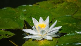 Gorgeous Water Lily, Lotus, Floating In A Small Pond At Spring Royalty Free Stock Image