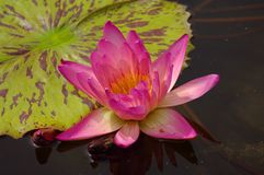 Gorgeous water lily, seerose Royalty Free Stock Photography