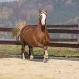 Gorgeous welsh cob running in autumn Royalty Free Stock Image
