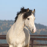 Gorgeous welsh cob running in autumn Royalty Free Stock Photography