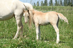 Gorgeous welsh mountain pony foal. Behind its mother tail Royalty Free Stock Image