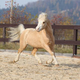 Gorgeous welsh mountain pony running in autumn Stock Image
