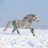 Gorgeous welsh mountain pony running in winter Royalty Free Stock Images