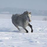 Gorgeous welsh mountain pony running in winter Royalty Free Stock Image