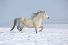 Gorgeous welsh mountain pony running in winter Stock Photography