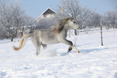 Gorgeous welsh mountain pony running in winter Royalty Free Stock Photos