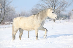 Gorgeous welsh mountain pony running in winter Stock Photo