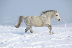 Gorgeous welsh mountain pony running in winter. Gorgeous welsh mountain pony running on snow in winter Stock Image