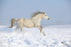 Gorgeous welsh mountain pony running in winter Royalty Free Stock Photography