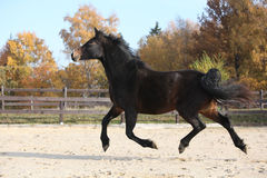 Gorgeous welsh part-bred running in autumn Royalty Free Stock Photography