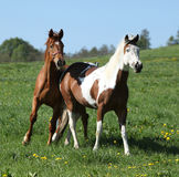Gorgeous western horses on pasturage Stock Photos