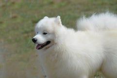 Gorgeous White American Eskimo Dog. Gorgeous fluffy white American Eskimo dog with a cute face Stock Photography