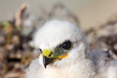 Gorgeous white bird of prey chicks:  Novaya Zemlya Stock Photography