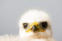 Gorgeous white bird of prey chicks:  Novaya Zemlya Stock Image