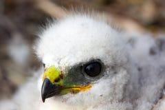 Gorgeous white bird of prey chicks: Rough-legged Buzzard. Novaya Zemlya tundra 1 Royalty Free Stock Photo