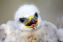 Gorgeous white bird of prey chicks: Rough-legged Royalty Free Stock Image