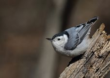 Gorgeous white-breasted nuthatch Stock Photo