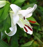 Gorgeous white Christmas Lily Royalty Free Stock Images