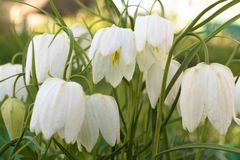 Gorgeous white crocus flowers close up in spring. stock images