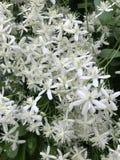 Gorgeous white frilly flowers on large woodland shrub Stock Photos