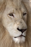 Gorgeous white lion Royalty Free Stock Image