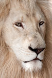 Gorgeous white lion Royalty Free Stock Photos
