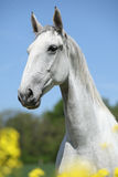 Gorgeous white lipizzaner with yellow flowers Royalty Free Stock Photography