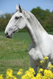 Gorgeous white lipizzaner with yellow flowers