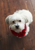 Gorgeous white maltese silky terrier with a red christmas collar. Looking up at camera Stock Images