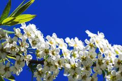 Gorgeous white petals on branch of spiraea flowers, during spring or summer season. Saturated blue sky and beautiful horizontal royalty free stock photography
