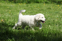 Gorgeous white puppy of Slovakian chuvach running Stock Photo