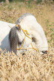 Gorgeous white stallion of welsh mountain pony Stock Photography