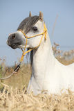 Gorgeous white stallion of welsh mountain pony Royalty Free Stock Image