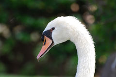 Gorgeous White Swan with Water Dripping From His Beak. Beautiful white swan with water dripping from his orange bill royalty free stock photography