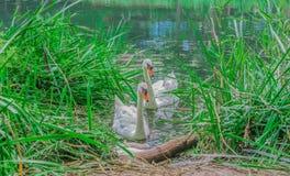 Gorgeous white swans in a lake Royalty Free Stock Photo