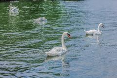 Gorgeous white swans in a lake Stock Photo