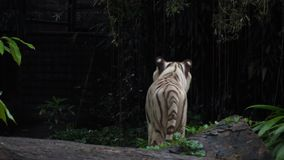 Gorgeous white tiger. Walking in Jungles stock video footage