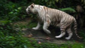 Gorgeous white tiger. Walking in nature stock footage