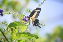 Gorgeous Yellow and Black Giant Swallowtail Butterfly. Beautiful pale yellow and black swallowtail butterfly in a garden royalty free stock image