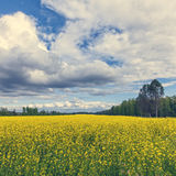 Gorgeous Yellow Canola Field in Forest Royalty Free Stock Images