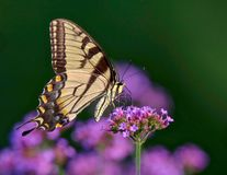 Gorgeous Yellow Swallowtail Butterfly on a Pink Flower royalty free stock image