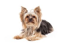 Gorgeous Yorkshire Terrier Dog Laying Looking Forward Royalty Free Stock Photography