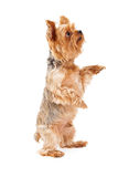 Gorgeous Yorkshire Terrier Puppy Begging Stock Photo
