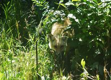Beautiful Fox Peering Out of the Tall grass and Foliage. Gorgeous young fox peaking out of the tall grass royalty free stock photography