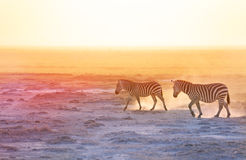 Gorgeous zebras walking on dusty wilderness Stock Images