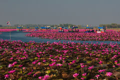 Gorgeously landscape of pink waterlily at the lake Royalty Free Stock Images
