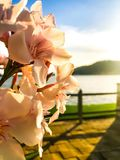 Gorges flowers royalty free stock photos