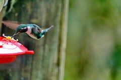 Gorgeted woodstar em Equador fotos de stock