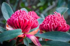 Waratah -The Wild Beauty. Gorgeus large pink waratahs found in the wild at at Mount Tomah Botanic Garden in the Blue Mountains, Australia. The Waratah is the Stock Photography