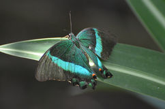 Gorgoeus关闭这只鲜绿色Swallowtail蝴蝶 库存照片
